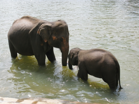 Elephants of the Pinnawala elephant orphanage in Sri Lanka bathing in the river Ma Oya photo