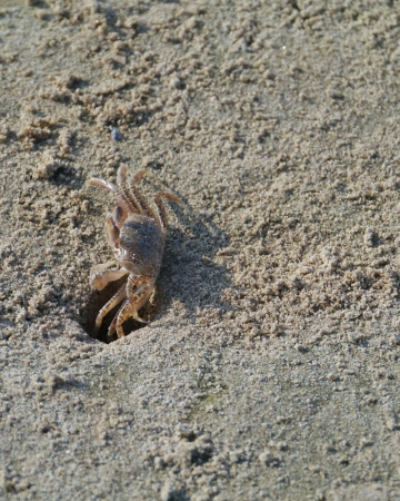 A sand blubber crab  scopimera globosa  on the sand beach of Sri Lanka Stock Photo - 18096472