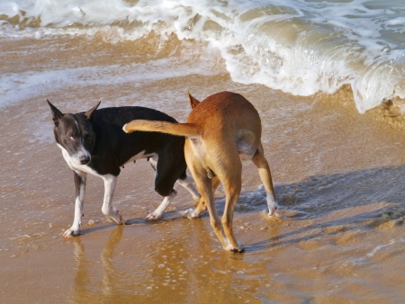 Playing dogs on the sand beach of Sri Lanka photo