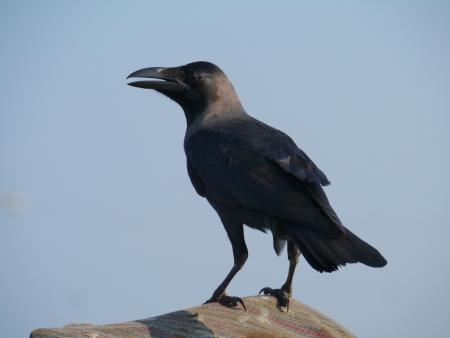 The house or Colombo crow  Corvus Splendens Stock Photo - 18096433