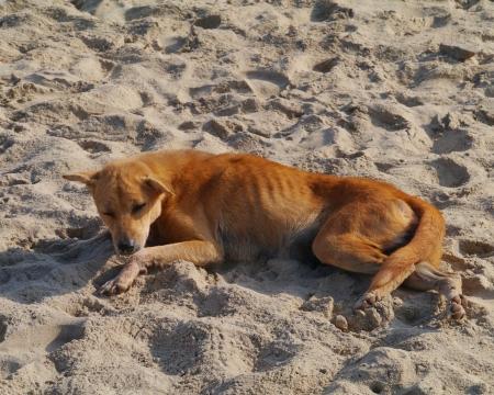 A brown dog lying on the sand beach of Sri Lanka photo