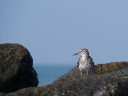 A sandpiper on the rocks of a beach in Sri Lanka photo