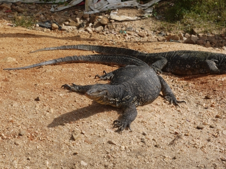 Asian water monitor lizards in Sri Lanka photo