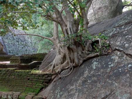 A tree growing in the rocks of the water garden near the Lion rock  Sigiriya  in Sri Lanka Stock Photo - 18230122