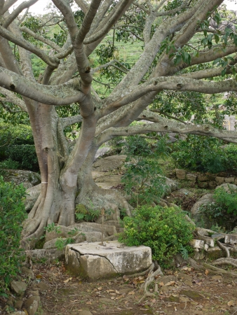 A tree in the water garden with its rocks around Sigiriya  Lion's rock  in Sri Lanka Stock Photo - 18233575