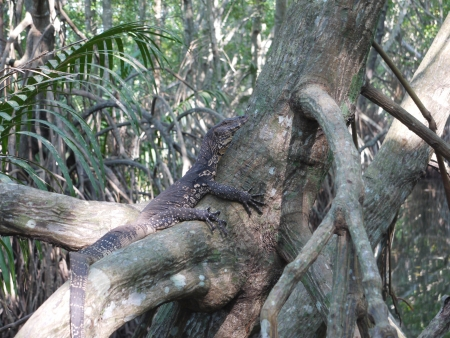 An Asian water monitor lizard in a tree along the Bentota river in Sri Lanka Stock Photo - 18233580