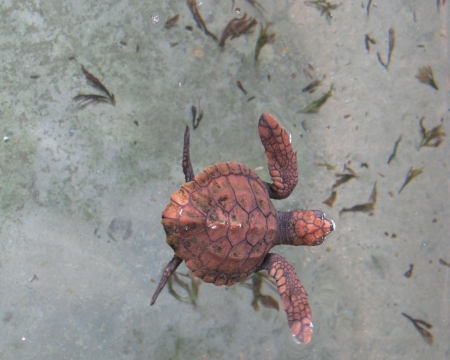 A baby red sea turtle in a pond of a hatchery in Sri Lanka Stock Photo - 18231619