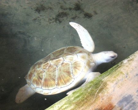 An albino water turtle  safe in a pond of a hatchery in Sri Lanka Stock Photo - 18229849