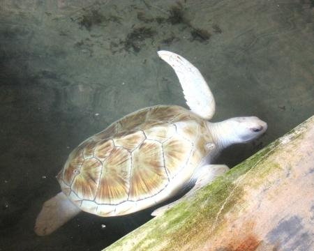 hatchery: An albino water turtle  safe in a pond of a hatchery in Sri Lanka