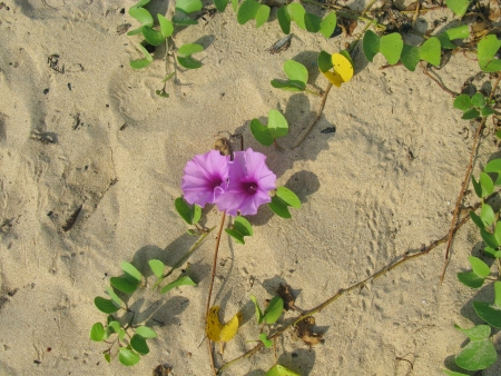 the beach of Sri Lanka with pink flowers Stock Photo - 18216347