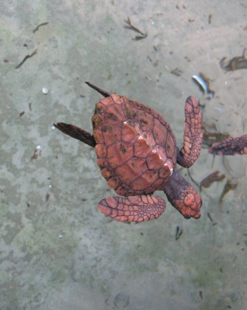 A baby red sea turtle in a pond of a hatchery in Sri Lanka Stock Photo - 18231618