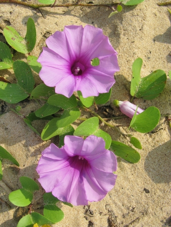 A sand creeper on the beach of Sri Lanka with pink flowers Stock Photo - 18229860