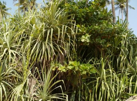 screwpine: Pandanus tectorius  screwpines  on Sri Lanka at the  waterfront of the Indian Ocean
