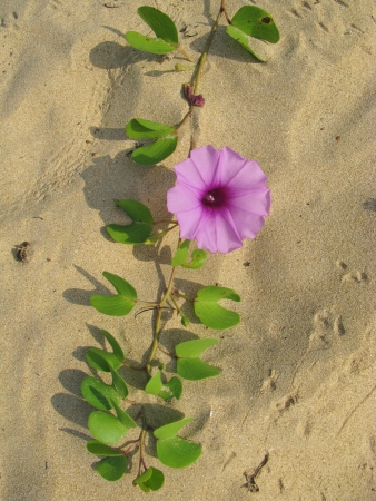 A sand creeper on the beach of Sri Lanka with pink flowers Stock Photo - 18216387