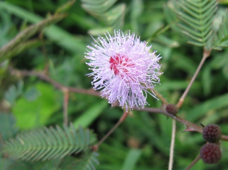 A flowering mimosa pudica in Sri Lanka also called sensitive plant in Stock Photo - 18264773