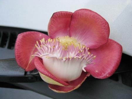 A flower of the cannonball tree  couroupita guianensis  in Sri Lanka Stock Photo - 18264038