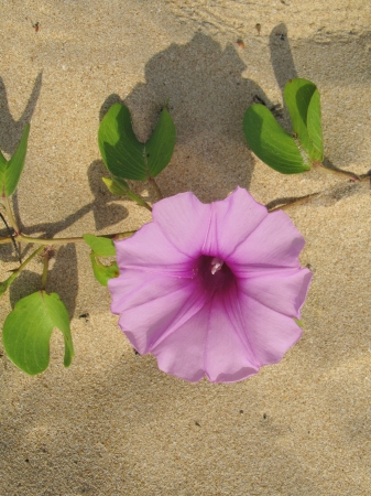 A sand creeper on the beach of Sri Lanka with pink flowers Stock Photo - 18264781