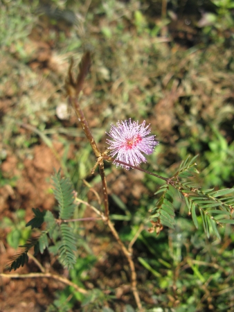 A flowering mimosa pudica in Sri Lanka also called sensitive plant in  Stock Photo - 18272260