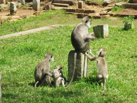A family Gray langur or Hanuman langur  semnopithecus  a black faced monkey in SriLanka Stock Photo - 18272272