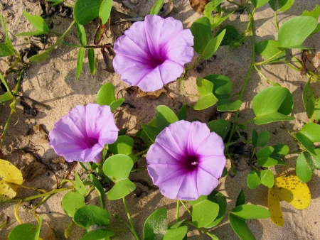 A sand creeper on the beach of Sri Lanka with pink flowers Stock Photo - 18272274