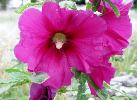 A flowering Common hollyhock Stock Photo - 18272257
