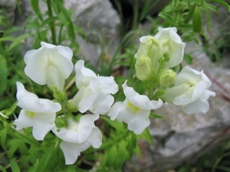 Antirrhinum majus or common snapdragon is a wildflower Stock Photo - 18272265