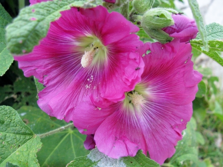 hollyhocks: A flowering Common hollyhock Stock Photo
