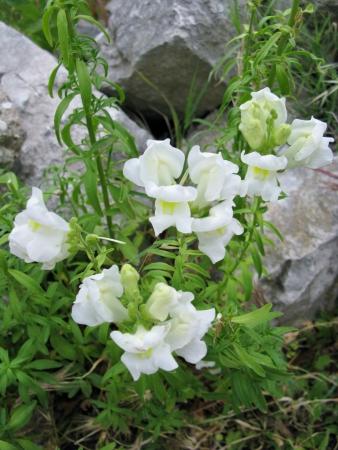 Antirrhinum majus or common snapdragon is a wildflower Stock Photo - 18272276