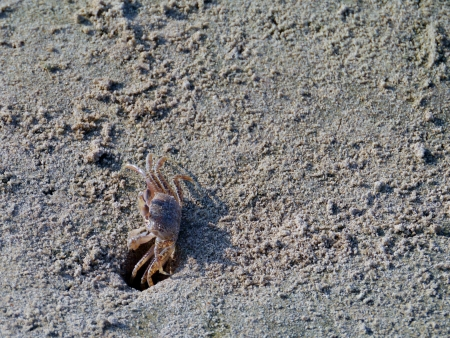 A sand blubber crab  scopimera globosa  on the sand beach of Sri Lanka Stock Photo - 18309639