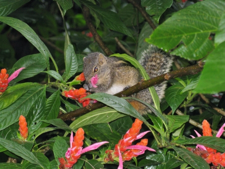 A Indian palm squirrel between the red flowers of a Acanthacea plant Stock Photo - 18625857