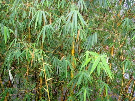 Bamboo leaves with rain drops Stock Photo - 18615500
