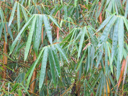 Bamboo leaves with rain drops Stock Photo - 18615498
