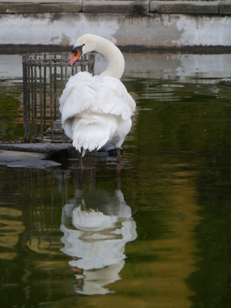 olur: Portrait of a mute swan in a pool Stock Photo