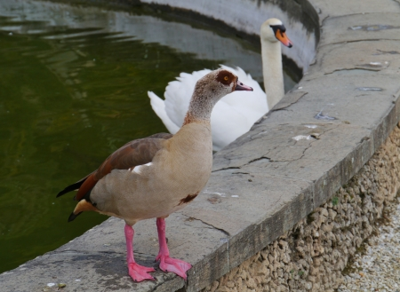 An egyptian goose and a mute swan at the waterfront of a pool Stock Photo - 18686777