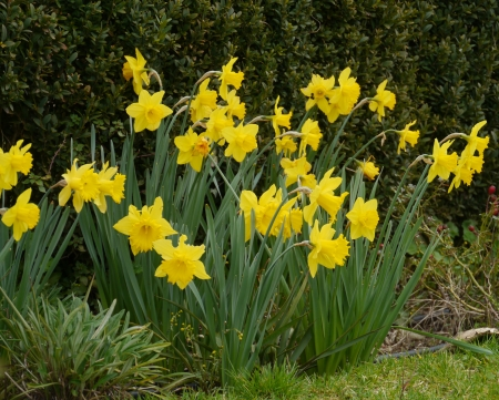 Yellow blooming daffodil flowers in spring Stock Photo - 18686782
