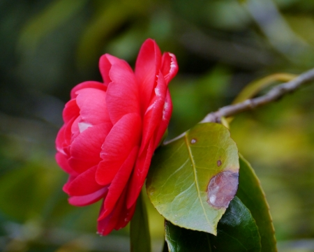 Red flowering camellia Japonica Stock Photo - 18686770