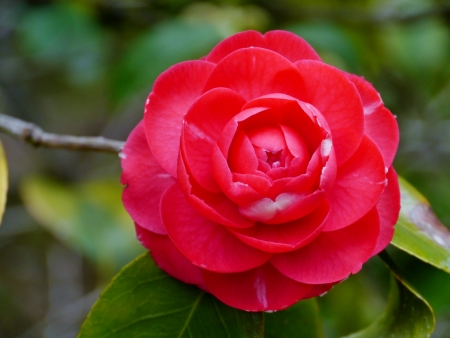 Red flowering camellia Japonica Stock Photo - 18686775