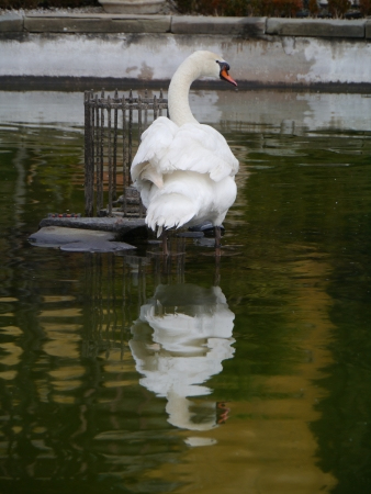 A sophisticated mute swan in the water Stock Photo - 18786291