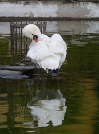 bowing head: A sophisticated mute swan in the water