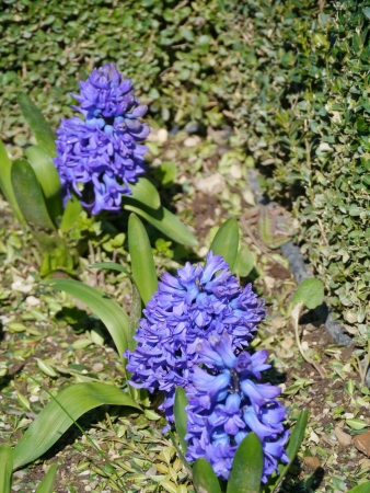 Blue flowering hyacinth bulbs in spring Stock Photo - 18786421