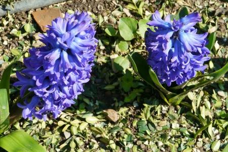 Blue flowering hyacinth bulbs in spring stock photo picture and blue flowering hyacinth bulbs in spring stock photo 18786398 mightylinksfo