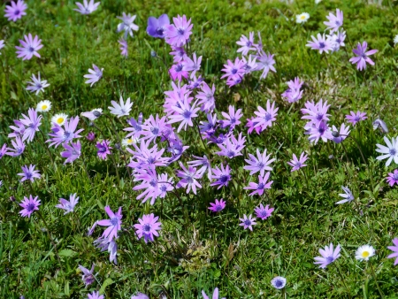 garzoni: Grass with anemone and daisy flowers in pastel colors in a park in spring