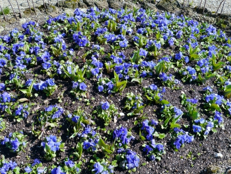 garzoni: Bloom bed with blue pansy flowers in a park in spring Stock Photo