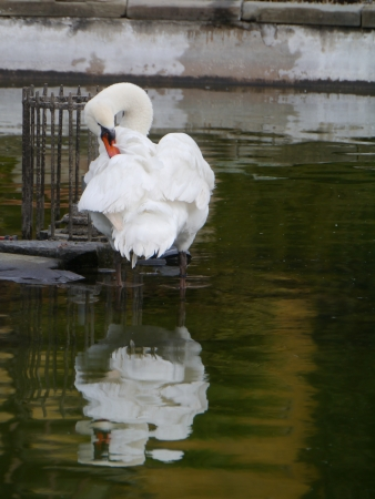 Portrait of a mute swan  cygnus olur  in a pool Stock Photo - 18877893