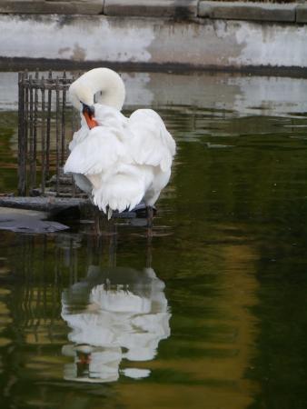 percept: Portrait of a mute swan  cygnus olur  in a pool