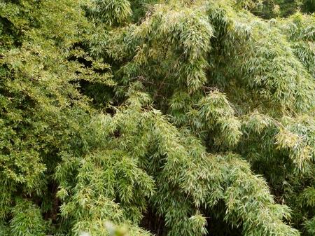 Bamboo plants Stock Photo - 18877895