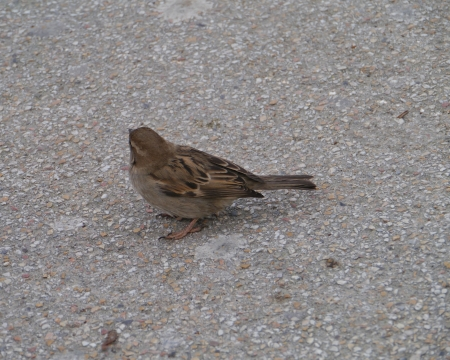 domesticus: A common house sparrow  Passer Domesticus  in the city