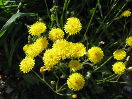 hawkweed: Yellow flowering Hawkweed  hieracium  in spring