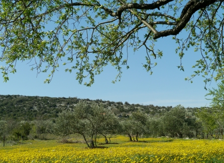 hawkweed: Yellow flowering hawkweed  hieracium  in an orchard with olive trees in spring in Croatia