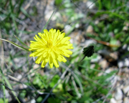 hawkweed: Yellow flowering Hawkweed  hieracium  in spring